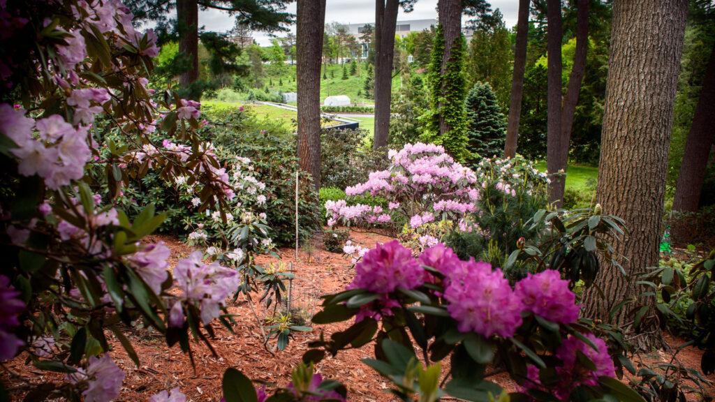 Flowering plants in the Rhododendron Garden.
