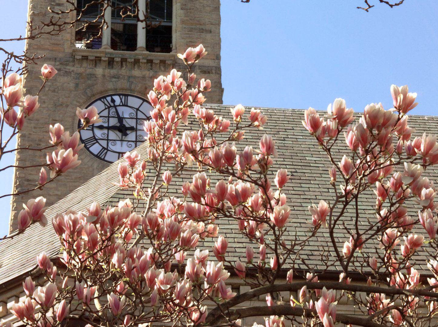 A sugar magnolia in bloom outside McGraw Tower.