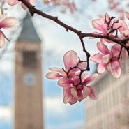 Magnolia trees in bloom near McGraw Tower in spring.