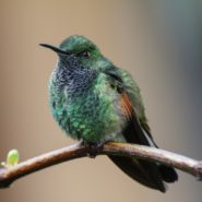 Male Stripe-tailed hummingbird