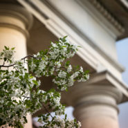 Trees in bloom outside Goldwin Smith Hall in spring.