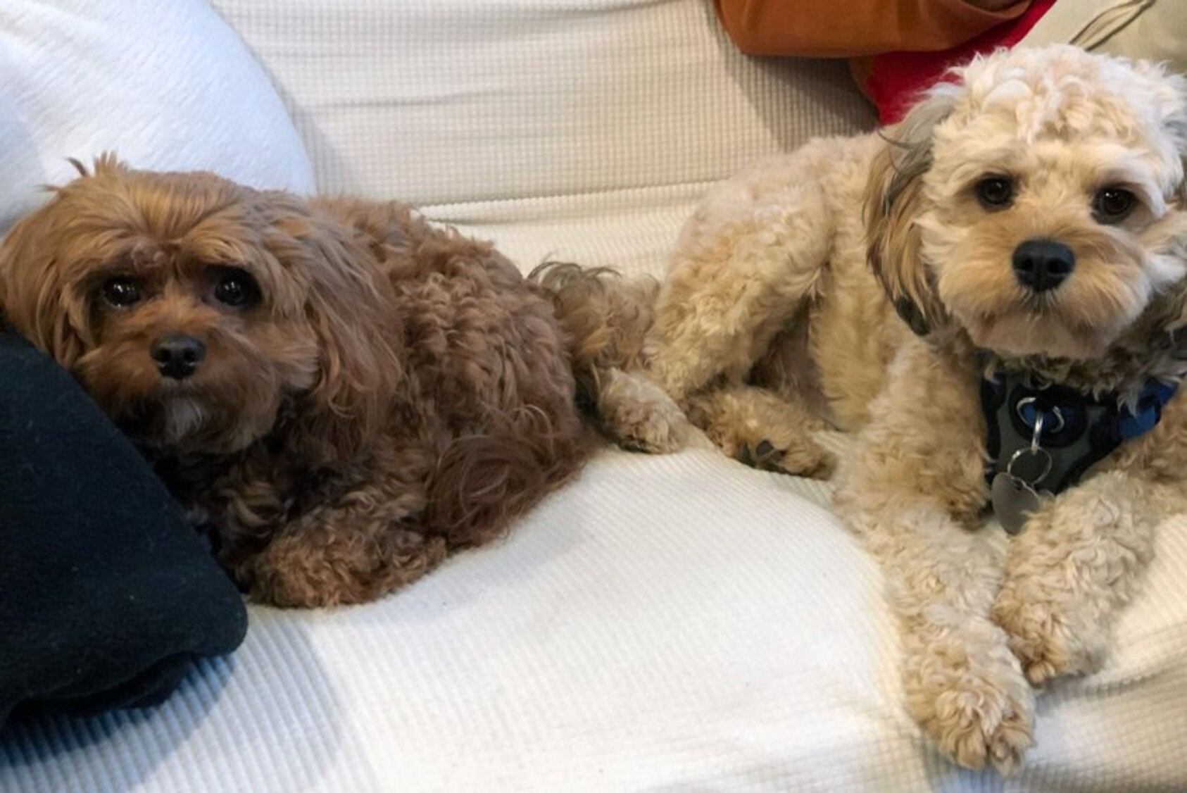 """""""That's Seymour on the right, who joined us in April. He just turned one year old on January 31. He and his older sister, Maeby (on the left), are both Cavapoos. They are the sweetest dogs and have helped keep us sane during the pandemic."""" —Bob Feinberg '84, East Hampton, NY"""