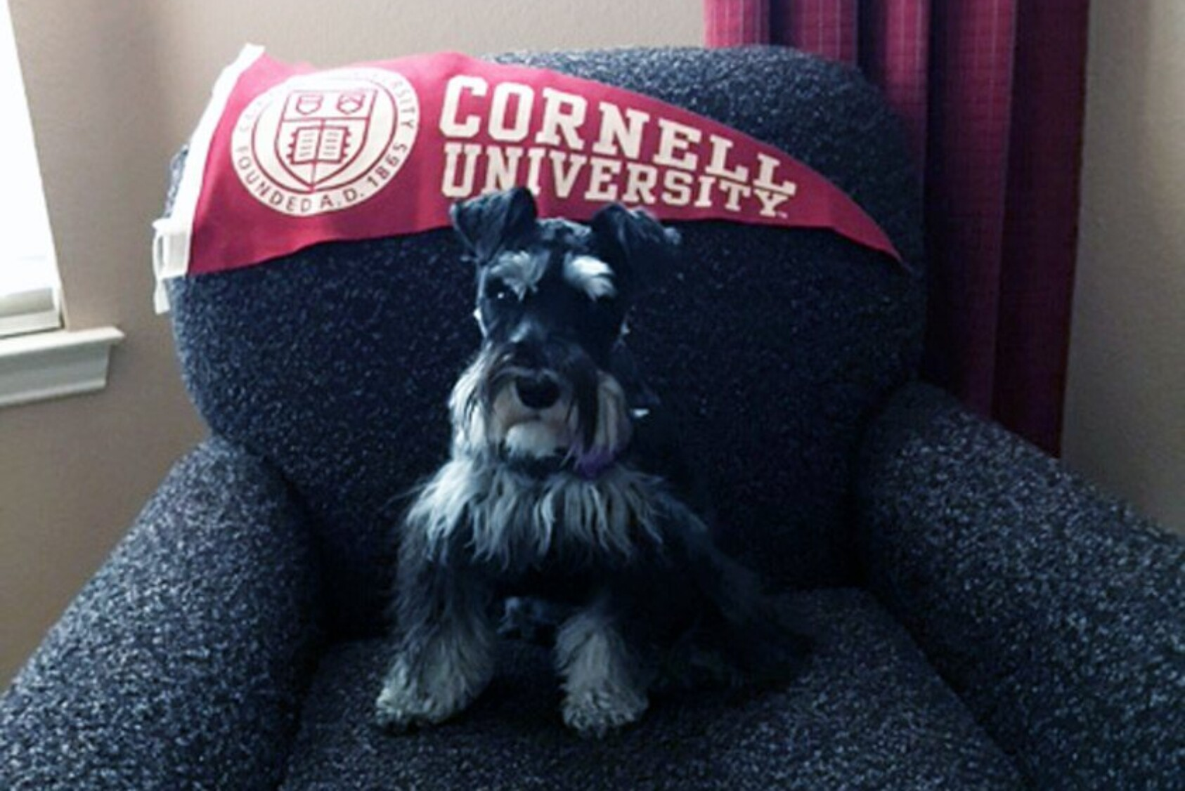 """""""This is Molly, our miniature Schnauzer. We brought her home in June, and she's now about 9.5 months old. She's high-energy, smart, and demands that you play with her. True to her terrier DNA, she's a real ratter, having done away with at least three of the rodents in our back yard."""" —Bill Barden MBA '75, Allen, TX"""