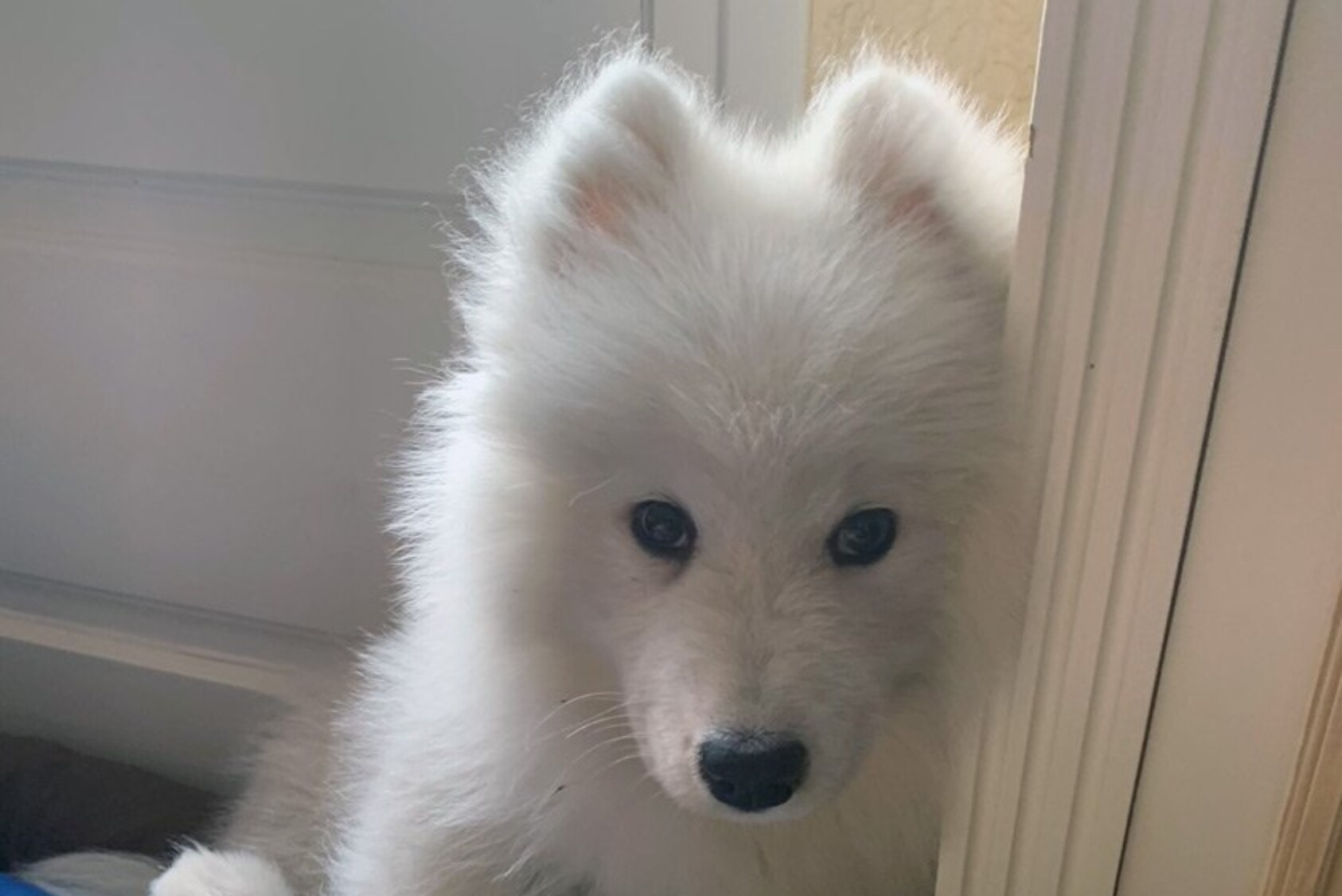 """""""We adopted a three-month-old puppy a couple of weeks ago, a Samoyed called River. He is adorable and has already positively changed our family of four! River brings his company to our family, as some of us are otherwise alone in the house and unable to see our friends. He is always joyful and happy to be with us, and he follows us everywhere. He is a great topic of family conversation and an occasion to solve problems together, regarding his education, feeding, activities, and health. It gives my teenage boys a sense of responsibility and maturity to be able to care for him."""" —Laurent F. Paty MBA '95, Mouans-Sartoux, France"""