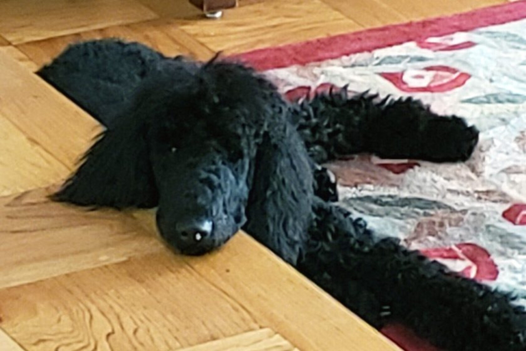 """""""Meet Yadi: an ink-black, Standard Poodle puppy named after Cardinals' awesome catcher Yadier Molina. Yes, Yadi is an EXCELLENT catcher! We got him on March 21, and now he's 13 months old. We take a million pictures, but he's so black that he looks like a blob. At night, he melts into the shadows and you literally cannot see him. When you can see him and hug him, he is the fluffiest, sweetest, most lovable creature!"""" —Laurie Gibson Lindberg '79, Annandale, VA"""