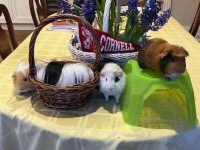 Four guinea pigs that were adopted in July from New Jersey Guinea Pig Rescue. (from L to R) Butter, Moo, Cookie, and Charlie are in training to become therapy guinea pigs says proud owner, Elizabeth Lynch '90, DVM '95.
