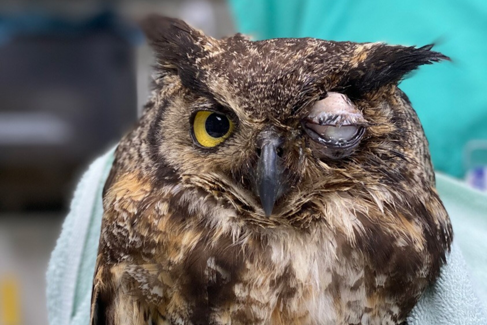 A great horned owl with a severe infection of the left eye.