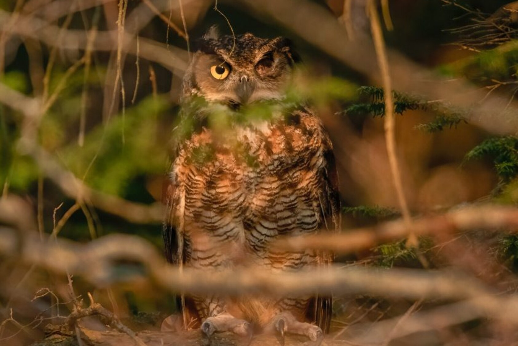 The owl was returned to his home territory after a long hospitalization. Here, he looks out from a thickly wooded area where he landed after being released from the transport carrier.