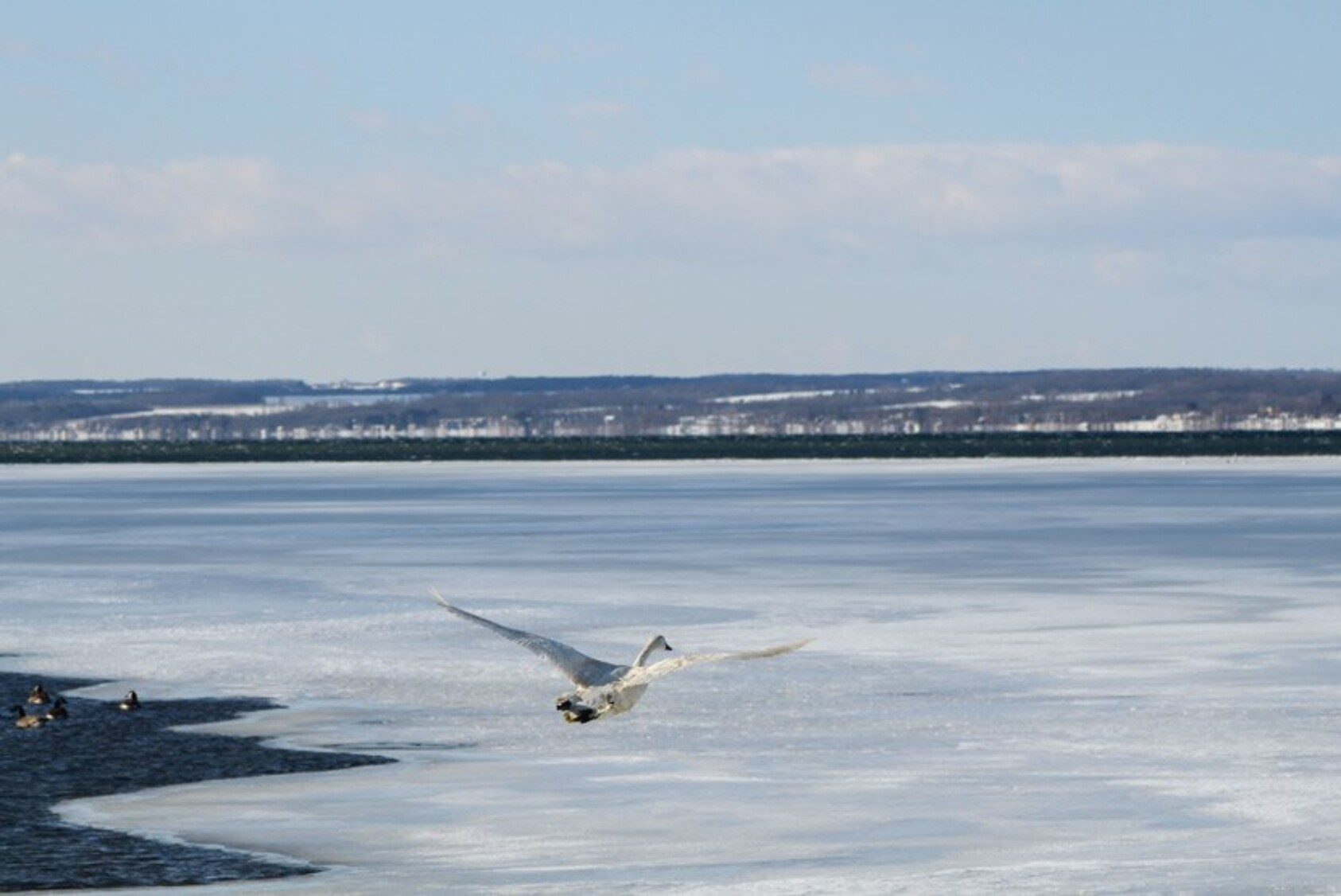 The Tundra Swan was eventually released where it was originally found on Cayuga Lake.