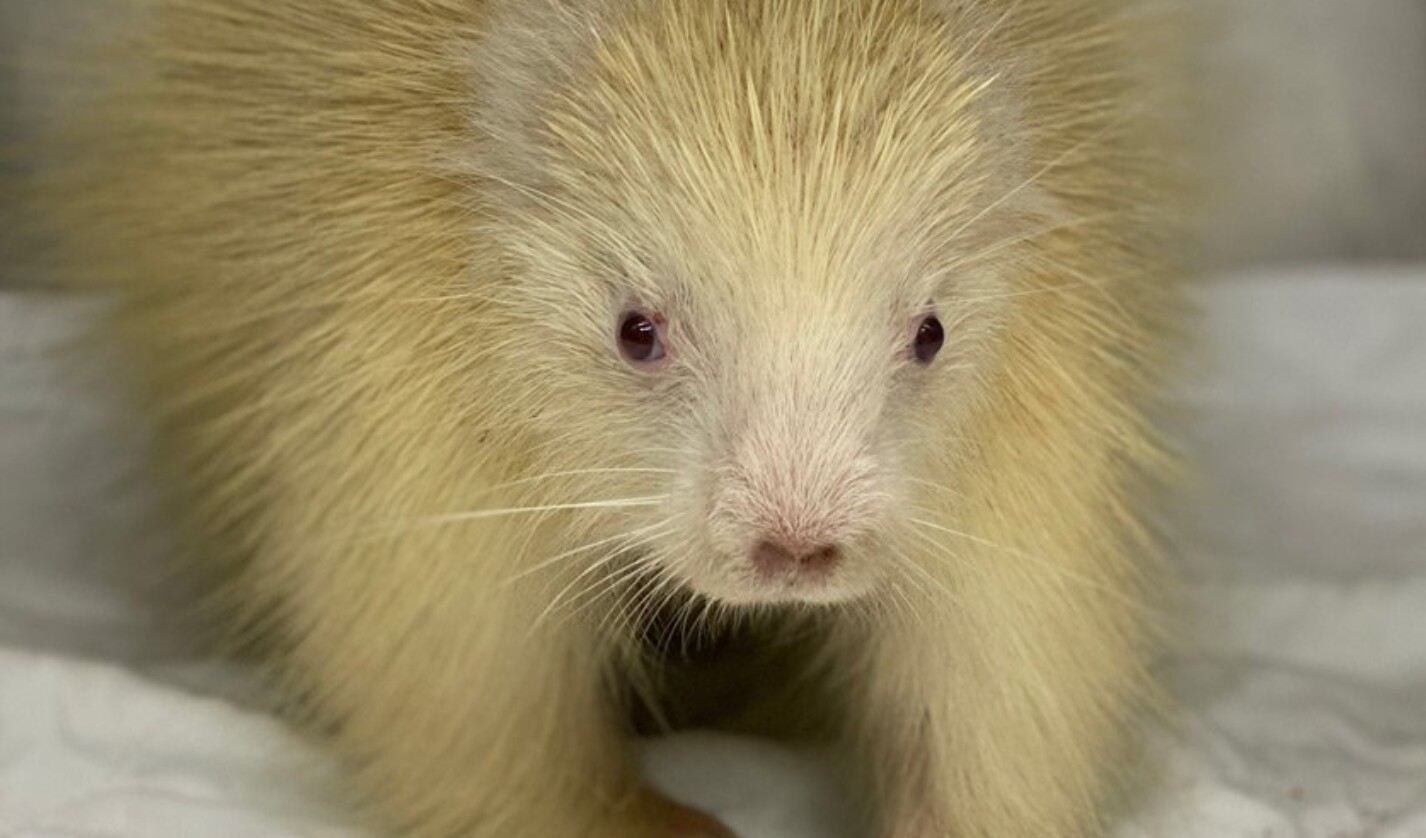 This rare albino porcupine made a full recovery and is now an ambassador for her species and for native wildlife at The Wild Center in Tupper Lake.