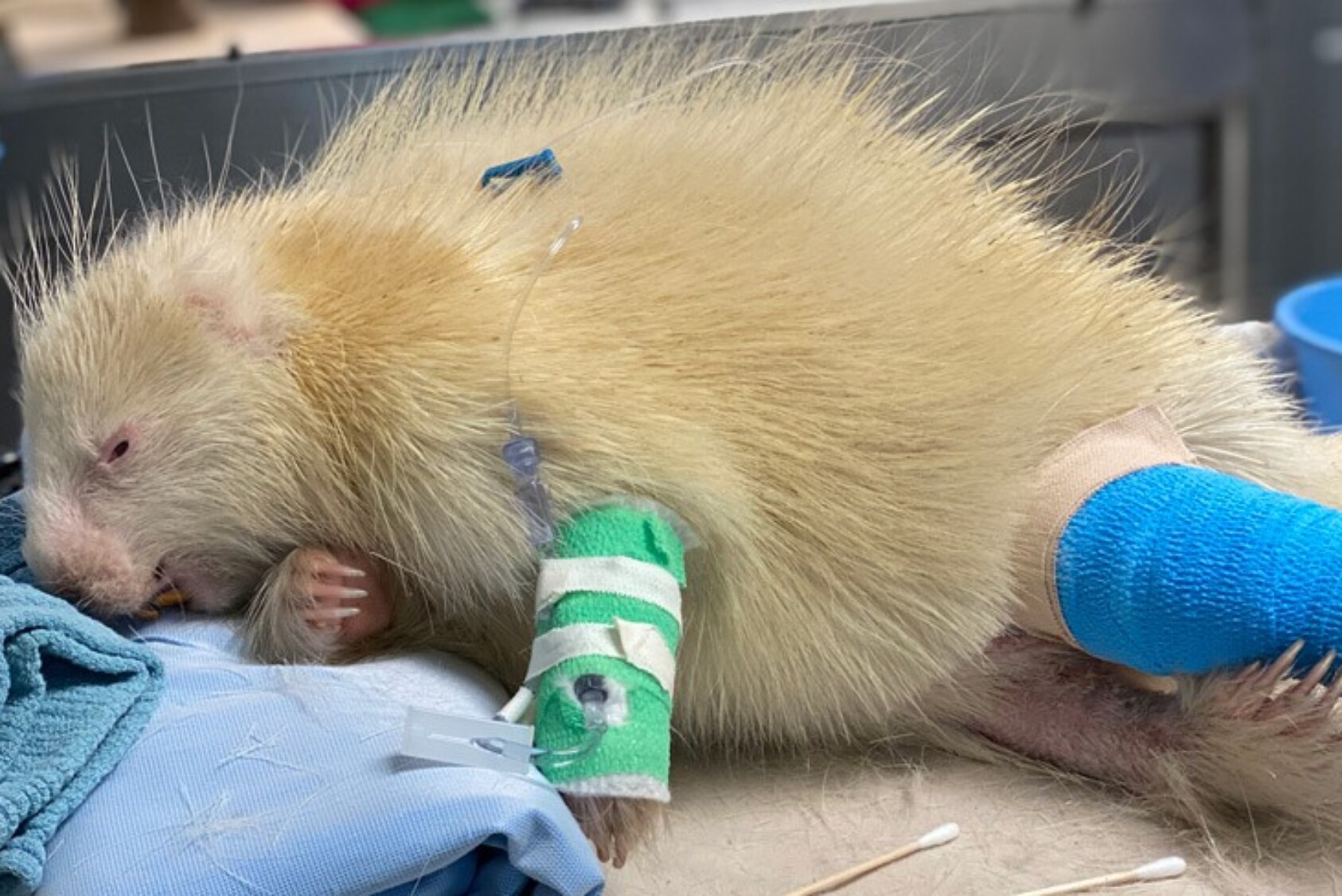 The porcupine was critically ill when it arrived at the hospital, requiring intravenous fluids and antibiotics.
