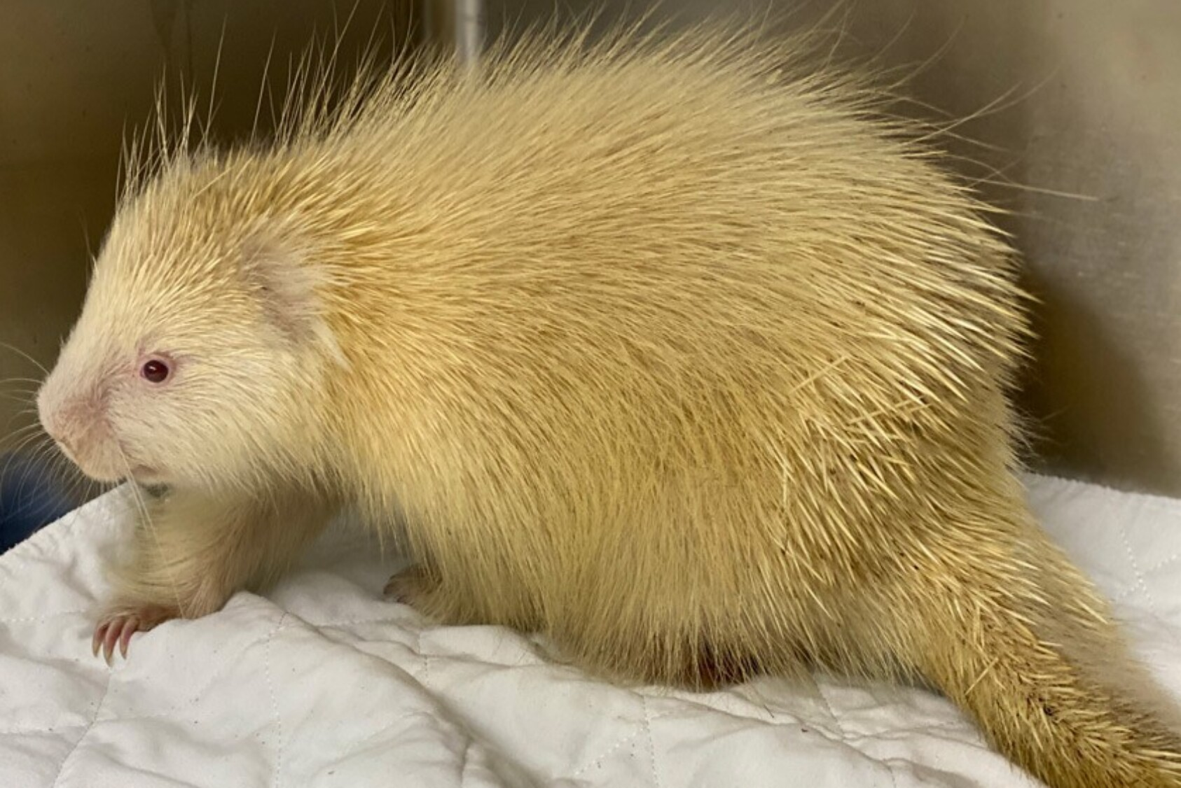 After treatment and surgery, the porcupine made a rapid recovery.