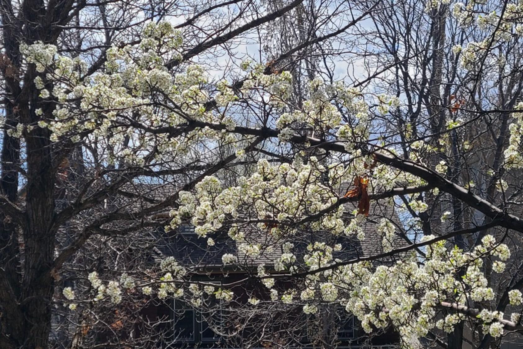 The ornamental pea tree is in bloom.