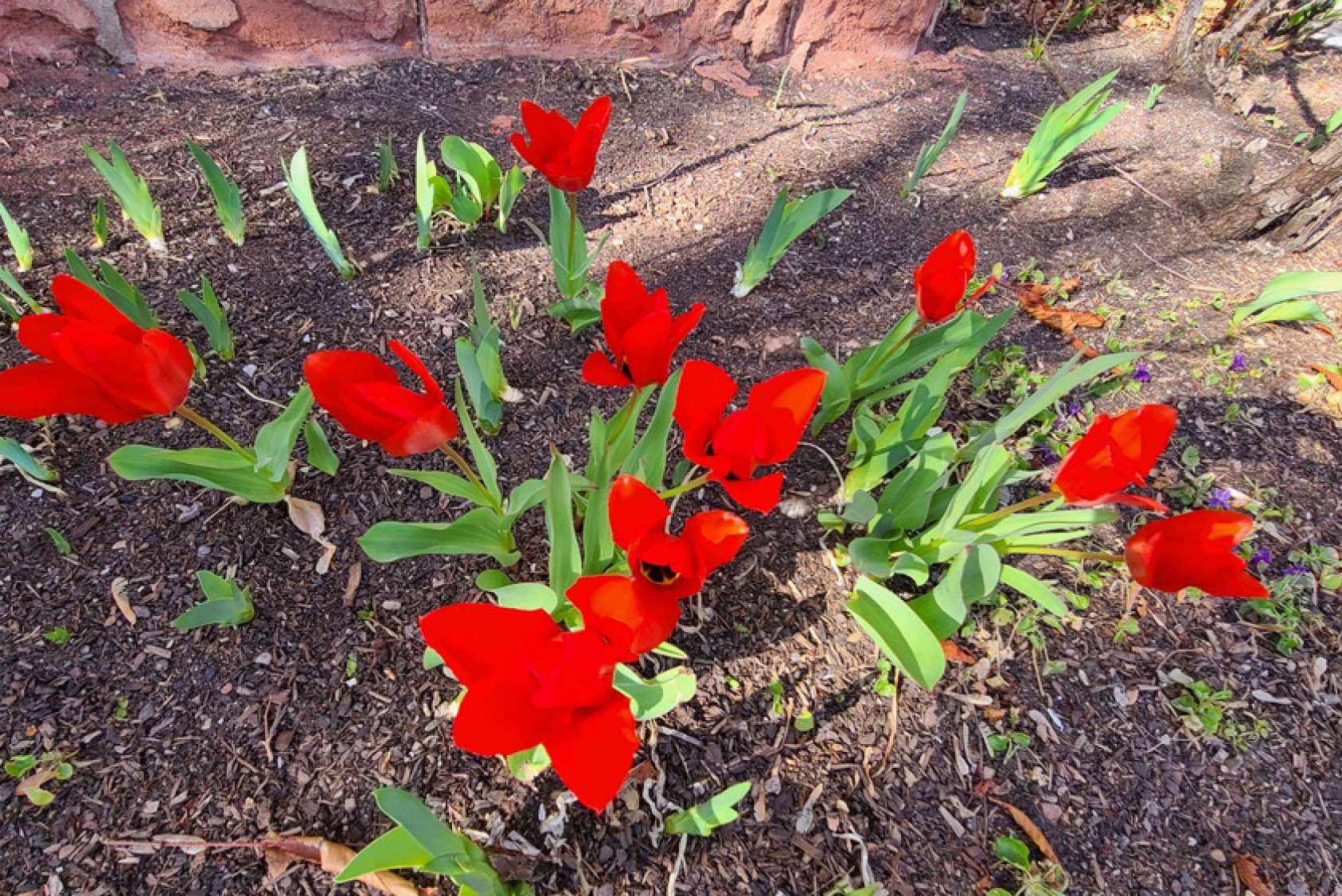 Early red tulips add glamour.