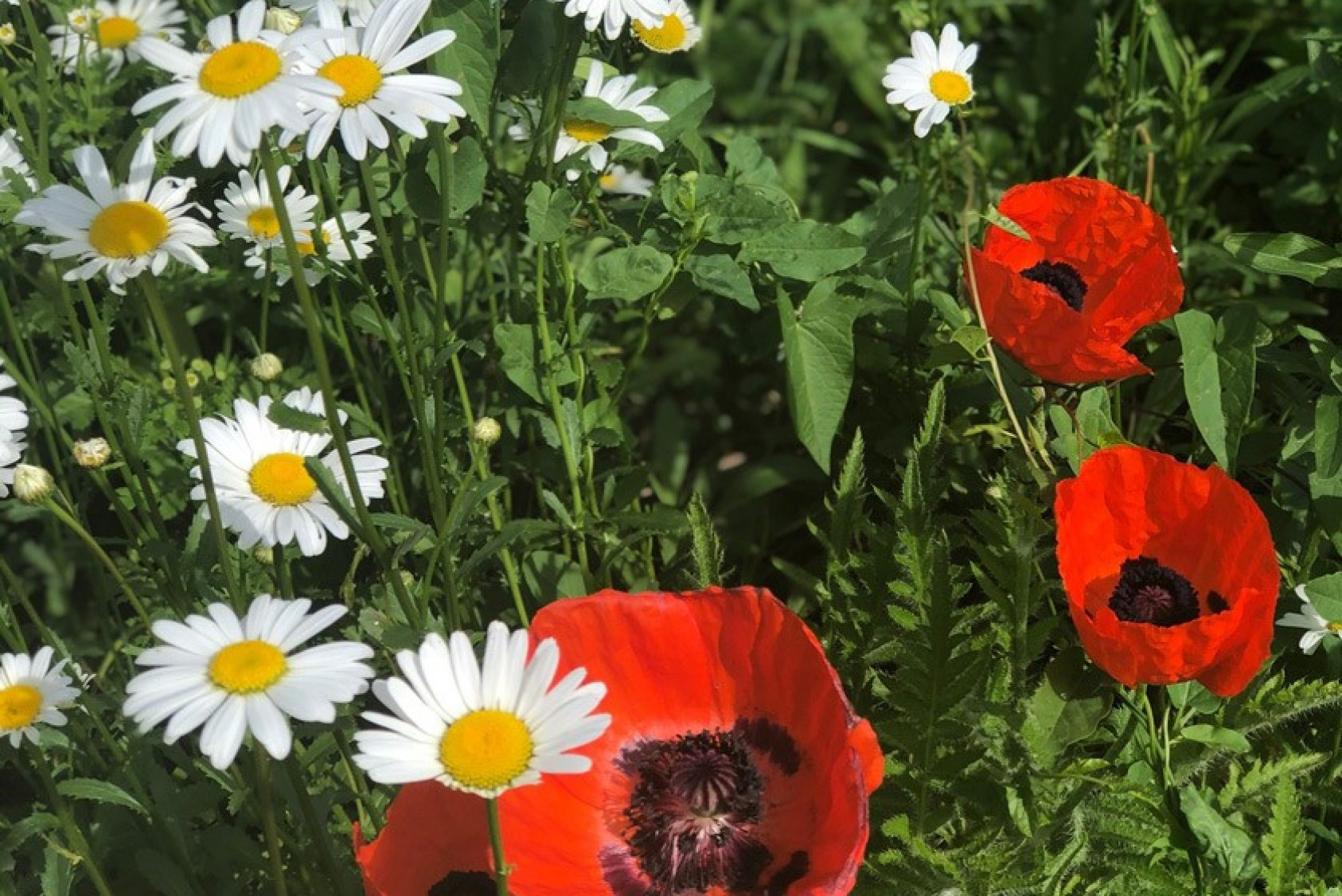 Half of Blake's garden space is designated for pollinators and beneficial insects, including daisies and poppies.