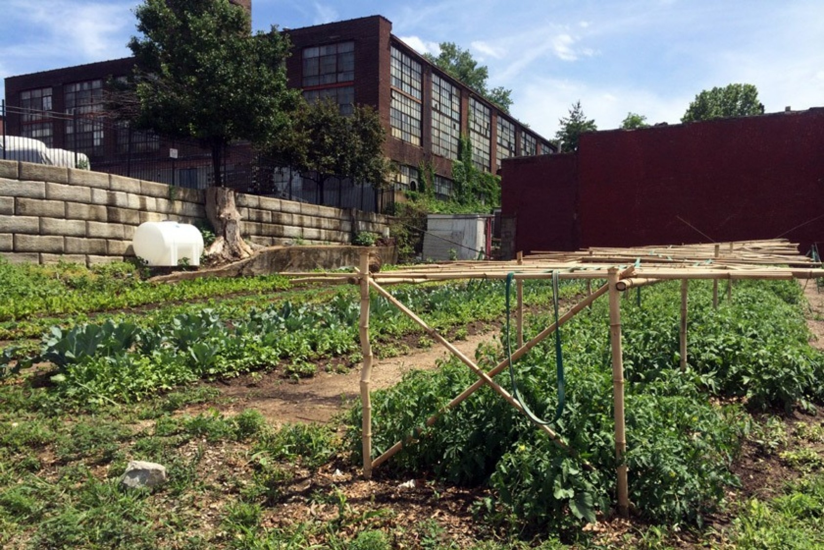 Tomato plants in the urban garden