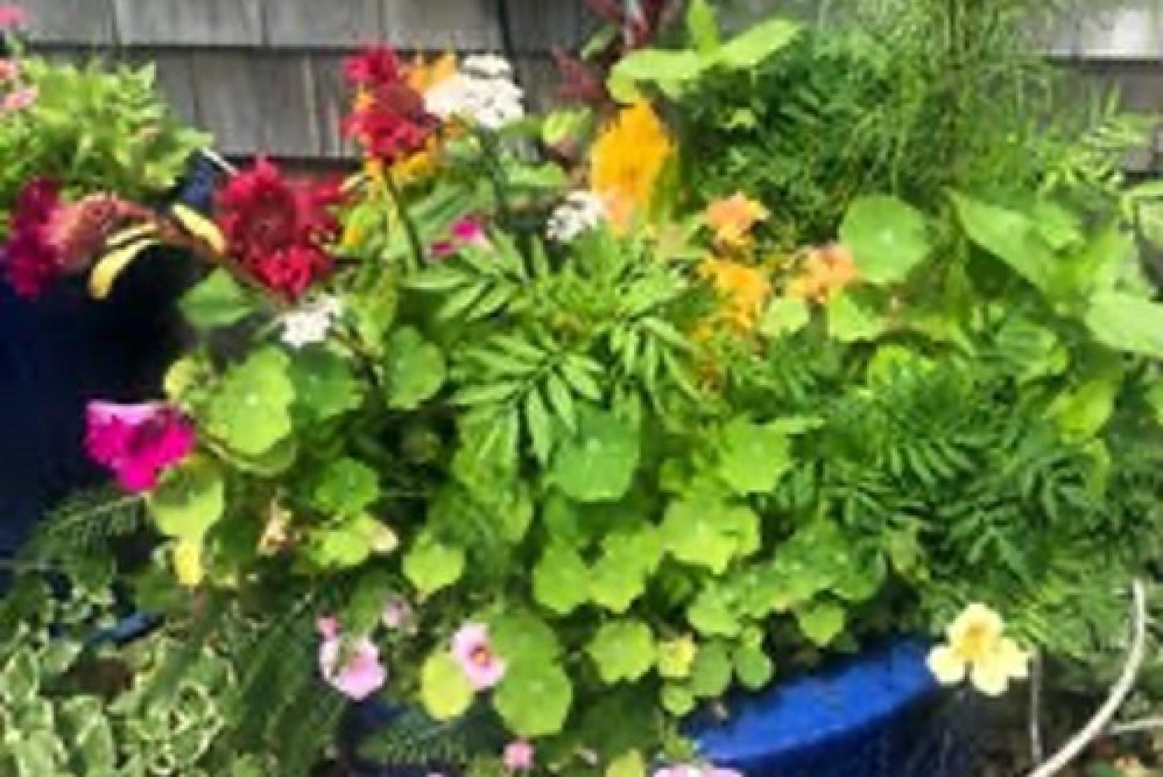 Container garden with celosia, petunias, nasturtium, and cosmos