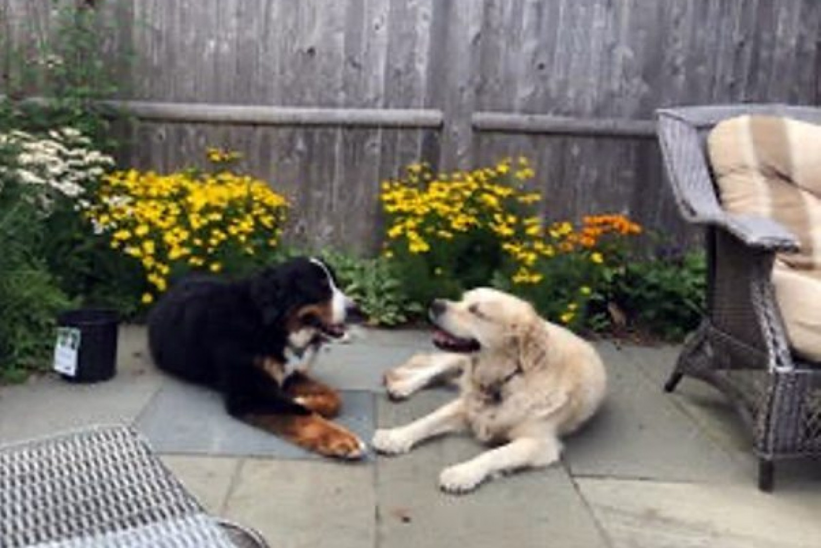 Lilly and Katie, Penny's dogs, having a chat in the garden