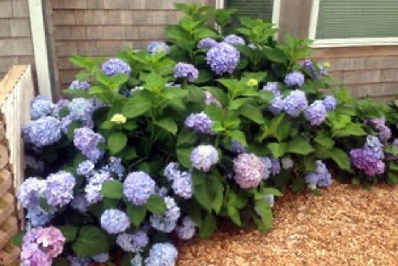 """""""We Vineyarders love our hydrangeas,"""" Penny says. """"We can play with the soil to make the hydrangeas flower blue over pink."""""""