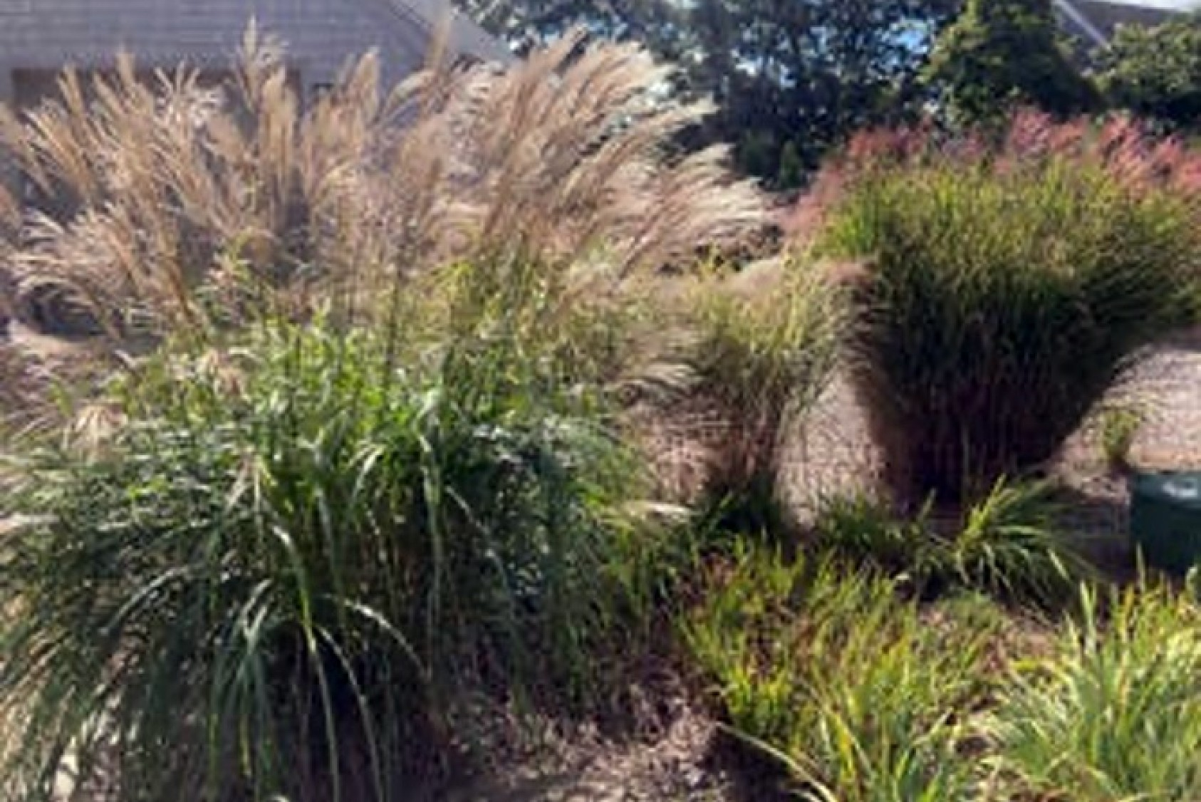 Penny also grows several varieties of grasses.