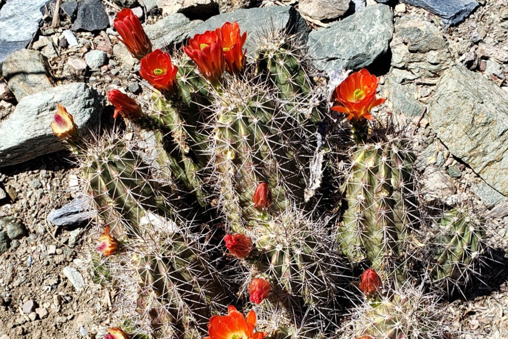 """Opuntia basilaris, or beavertail prickly pear, is one of the more than 100 species of prickly pear cacti. """"Both the fruit (tuna) and the nopal (paddle) are edible and used in various delicious dishes,"""" Rodo says."""