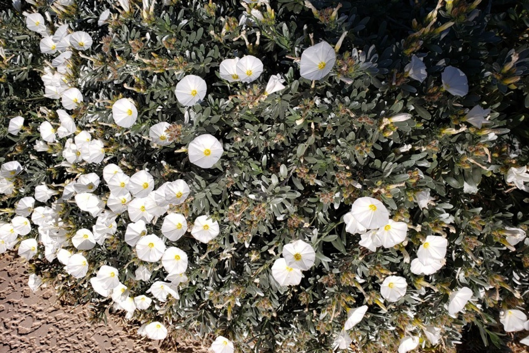 Conovolvulus, or silverbush or bindweed, found mostly in the coastal lands of Rodo's old homeland, Montenegro, and other western Balkan countries