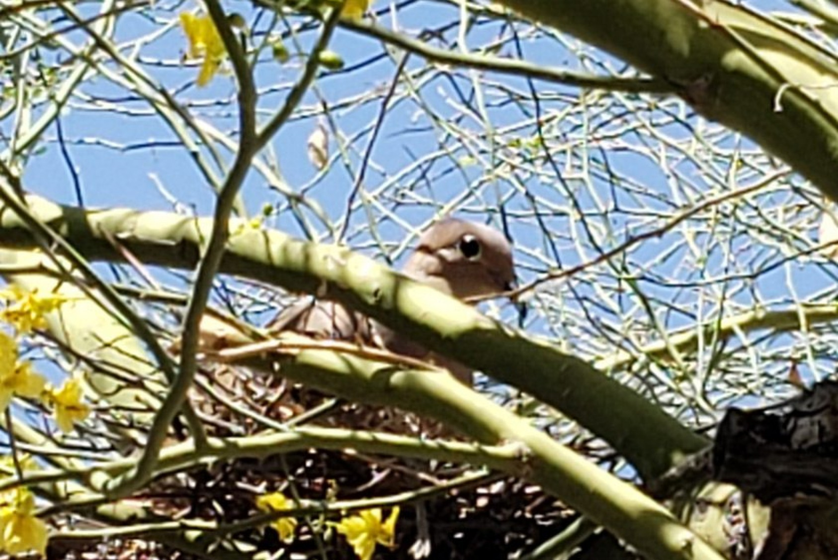 """Bird nesting in a blue palo verde, the state tree of Arizona: """"In the spring, it has bright yellow flowers for a short time. The flowers turn into hard-shelled seed pods—a great food source for rodents and birds,"""" Rodo says."""
