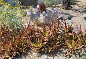 """Aloe camaronii is another variety of agave. """"It's like a burst of fireworks in the typical green aloe party,"""" Rodo says."""