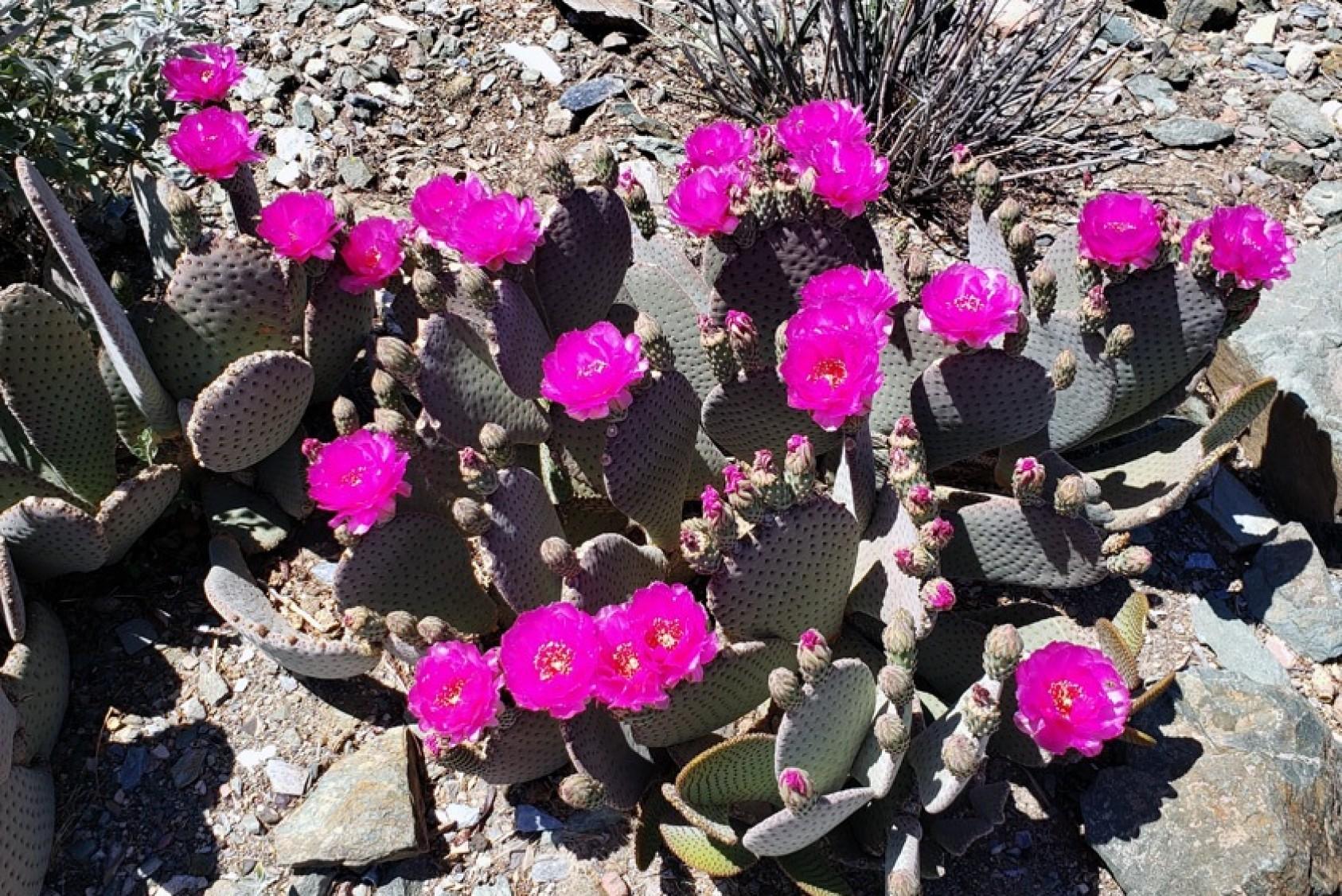 Echinocereus coccineus, one of many hedgehog cacti