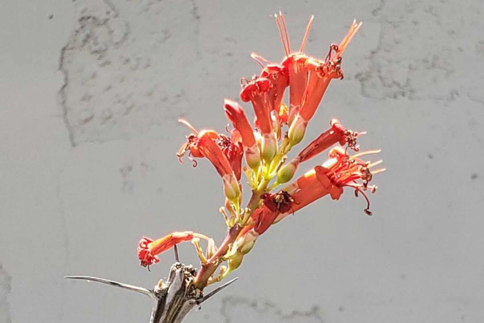 """Fouquieria splendens, or ocotillo: """"The long spiny stems are used for everything from fencing to medicines. The bright crimson flowers at the tip of the stems are also used for medicinal purposes and teas. When the sun hits it just right, the entire plant looks a cluster of lit candles,"""" Rodo says."""