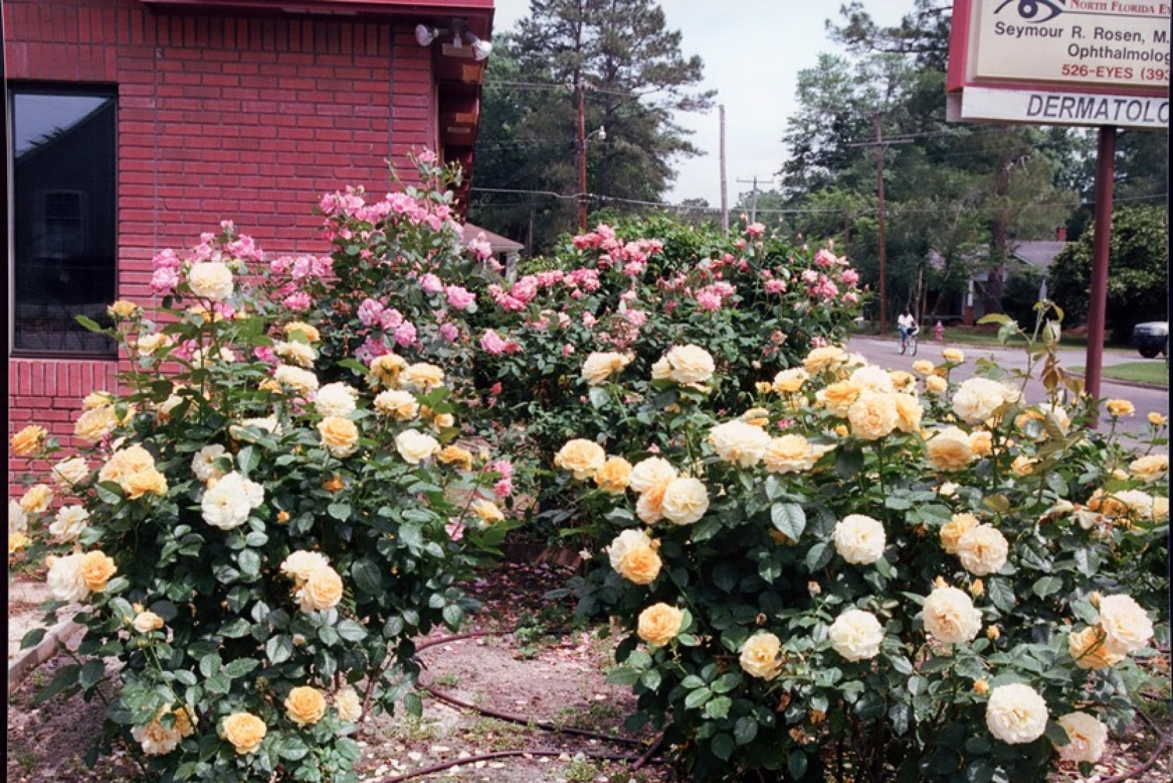 Roses in front of Dr. Seymour Rosen's former office building