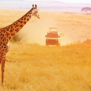 Giraffe with safari jeep in the distance