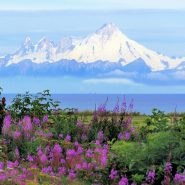 SNow capped mountains with purple flowers in the foreground