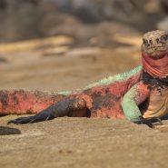 Large lizard lying on the beach