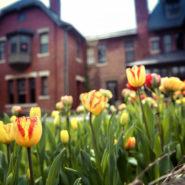Tulip garden at the A.D. White House
